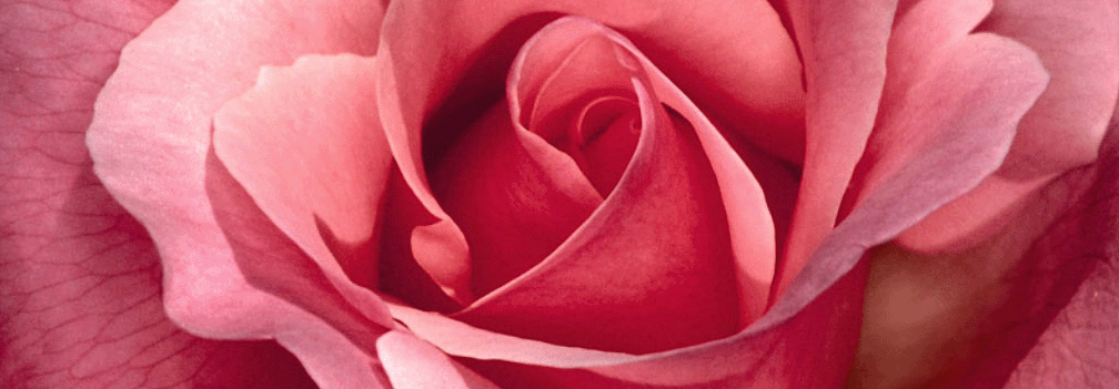 rosa_aberta